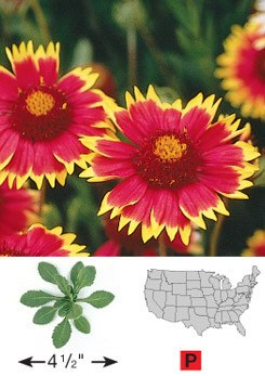 Blanketflower - 3219