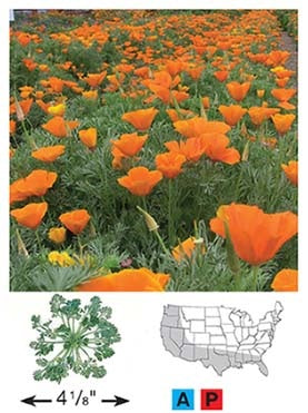 California Poppy - 3218