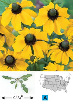 Clasping Coneflower - 3238
