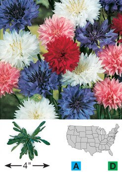 Cornflower/Bachelor's Button - 3203