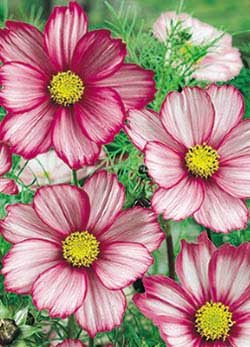 Candy Stripe Cosmos - 3274