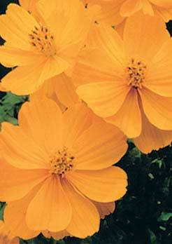 Lady Bird Dwarf Gold Cosmos