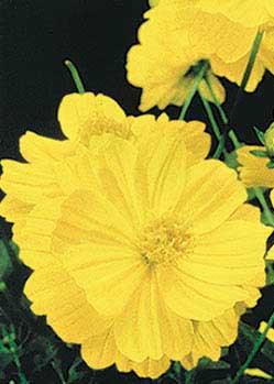 Lady Bird Dwarf Lemon Cosmos - 3284