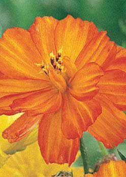 Lady Bird Dwarf Orange Cosmos - 3286