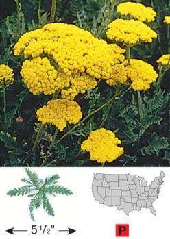 Gold Yarrow - 3323