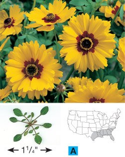 Golden-Wave Coreopsis - 3255