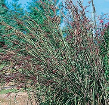 Big Bluestem - 3801