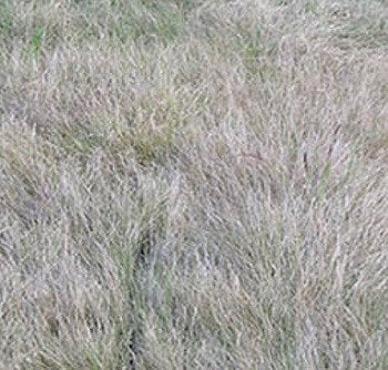 Texoka Buffalograss