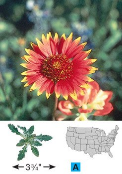 Indian Blanket/Firewheel - 3220