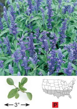 Mealy Blue Sage - 3302