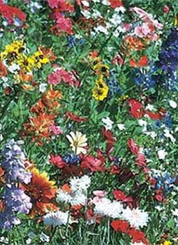 Texas/Oklahoma Wildflower Mix - 3341