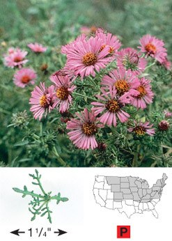 New England Aster - 3324