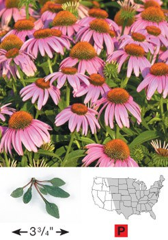 Purple Coneflower - 3217