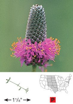 Purple Prairie Clover - 3333