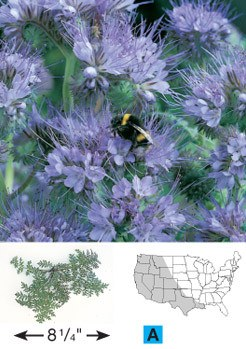 Purple Tansy/Lacy Phacelia