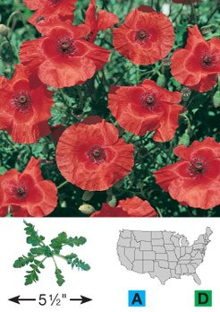 Red Corn Poppy - 3222