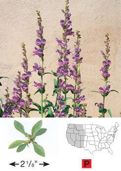 Rocky Mountain Penstemon - 3260