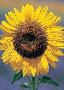 Grey Stipe Sunflower