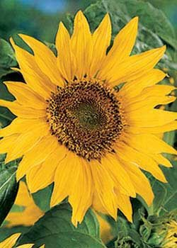 Maya Sunflower