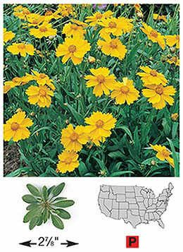 Tickseed/Lance-leaved Coreopsis - 3210