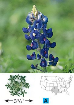 Texas Bluebonnet - 3228