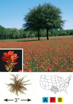 Texas Paintbrush - 3202