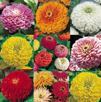 The Zinnia Collection - 3665