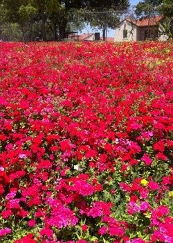 Drummond Phlox Red - 3236