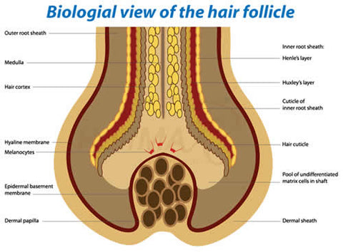 Biological view of hair follicle
