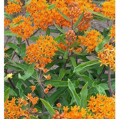 Asclepias Butterfly Weed