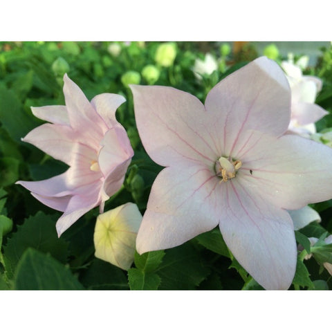 Balloon Flower Astra Double PInk