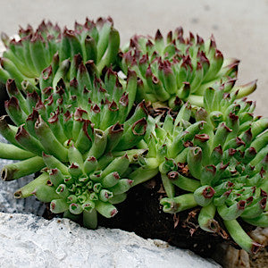 Sempervivum Oddity