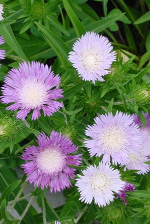 Stokes Aster Color Wheel Stokesia