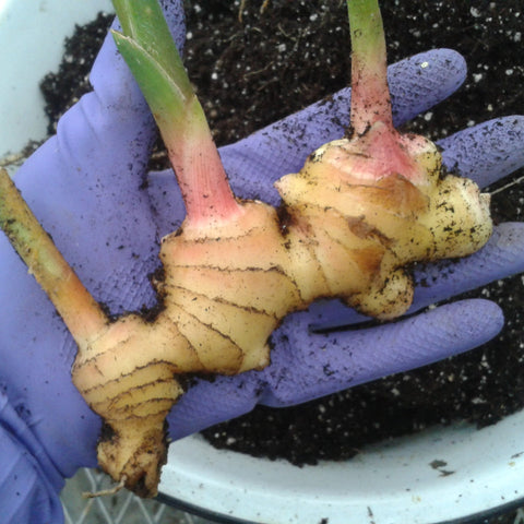 Edible Ginger Plant