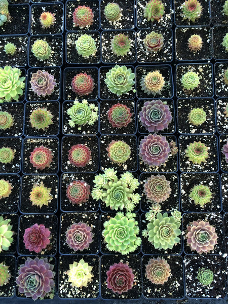 Sempervivum (3) - hardy succulents 3 pack