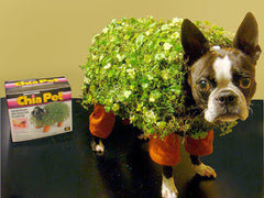 Boston Terrier wearing a Chia Pet Halloween costume