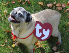 Pug wearing Beanie Baby Halloween costume