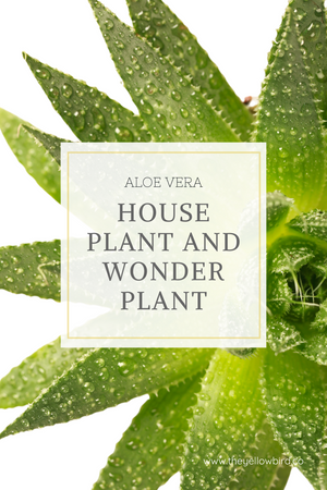 Aloe Vera: The House Plant and Wonder Plant