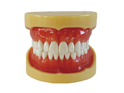 HST-A11 Dental Removable Model
