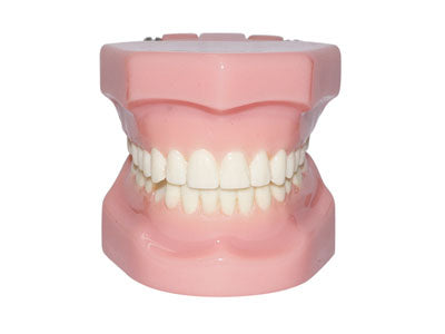 HST-B3 Dental Orthodontic Model