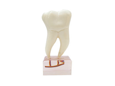 HST-C20 6Times Anatomy Teeth