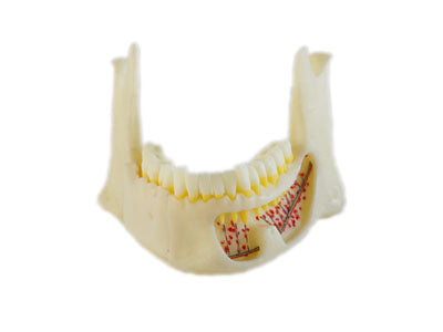 HST-P2 Dental Anatomic Mandible
