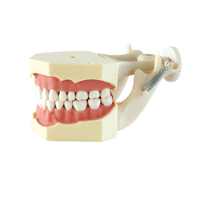 HST-A7 Dental SF Type Study Model