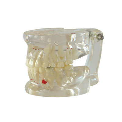 HST-C5 Dental Clear Mixed Age Model