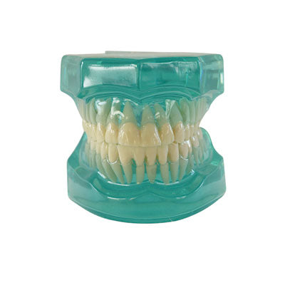HST-B7 Dental Clear Model