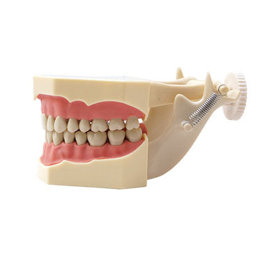 HST-A7-01 Dental SF Type Study Model