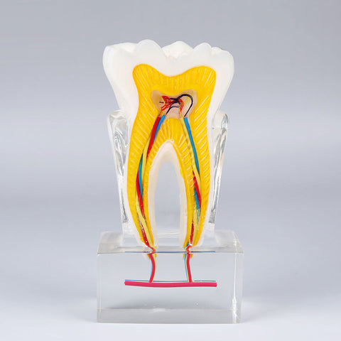 6 Times Dental Anatomical Model with Nerve XX-M7023