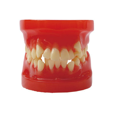 HST-B4 Dental Orthodontic Model