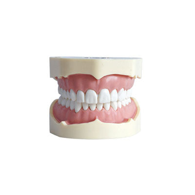 HST-A5 Dental SF Type Study Model