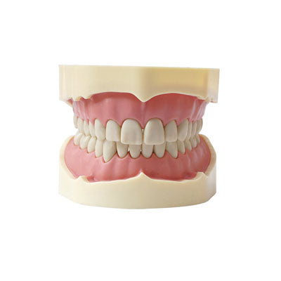 HST-A5-01 Dental BF Type Study Model